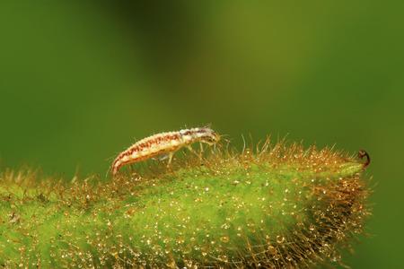chrysope: Big chrysope vole larves - lions de pucerons sur les feuilles vertes