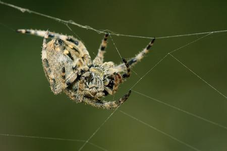 aracnidos: una especie de insectos de ara�a en el medio silvestre