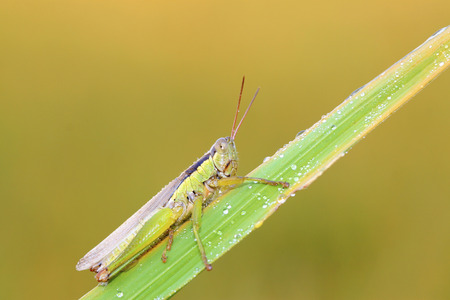 compound eye: locusts on green leaf in the wild, closeup of photo