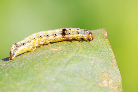 compound eye: Moth insects larvae on green leaf in the wild