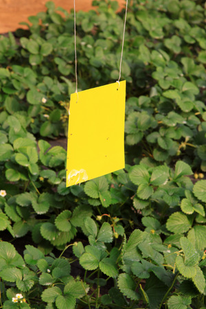insecticidal: insecticidal yellow plate in the strawberry greenhouses, closeup of photo Stock Photo
