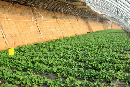 strawberry planting greenhouses internal landscape, closeup of photo photo