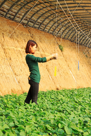 insecticidal: LUANNAN COUNTY - JANUARY 15: The technicians fixed insecticidal yellow plate, in a vegetable greenhouses, January 15, 2014,luannan county, hebei province, china.