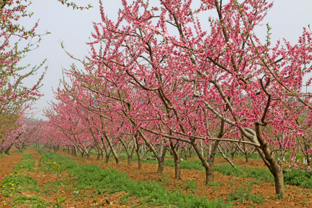 Peach garden scenery in the spring, beijing, china photo