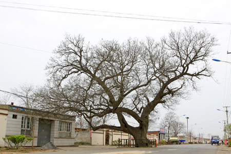 restore ancient ways: LETING COUNTY - APRIL 16: old willow tree in the Big black tuo village, on April 16, 2014, Leting county, hebei province, China.    Editorial