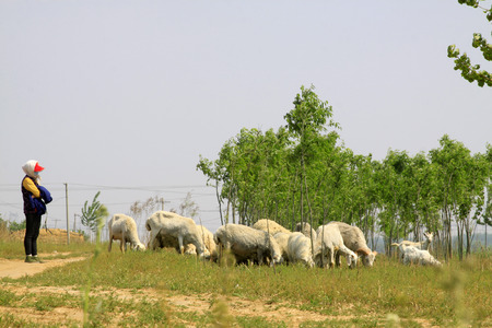 in herding: lady herding sheep in the countryside, closeup of photo