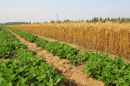 Peanut seedling and mature wheat, closeup of photo photo