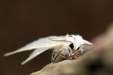 invasive species: closeup of pictures, a kind of insects named hyphantria cunea
