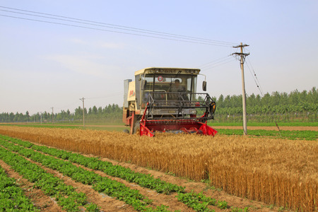 mechanization: LUANNAN COUNTY - JUNE 15: harvester is harvesting the wheat, on june 15, 2014, Luannan county, Hebei Province, China