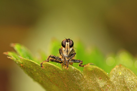 insectivorous plants: tabanidae insect prey on aphids on green leaf