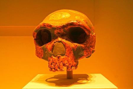 paleolithic: BEIJING, CHINA - MIDDLE PALEOLITHIC (CIRCA 280,000 YEARS AGO) : Jinniushan Man Skull(replica), middle paleolithic (circa 280,000 years ago), collection in the China national museum, Beijing, China.