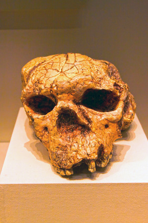replica: BEIJING, CHINA - EARLY PALEOLITHIC (CIRCA 1 million - 900,000 YEARS AGO) : Yuanxian Man skull(replica), early paleolithic ( circa 1 million - 900,000 years ago), collection in the China national museum, Beijing, China. Original unearthed at Xuetangliangzi