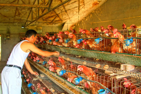 Workers collecting eggs in a farm, closeup of photo