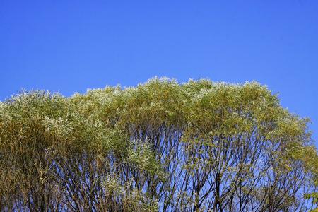 tree canopy: willow tree canopy under the blue sky, closeup photo