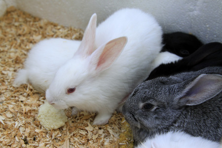 animal husbandry: rabbit, closeup of photo