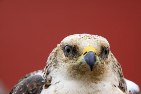 head shots: eagle head shots, closeup photo Stock Photo