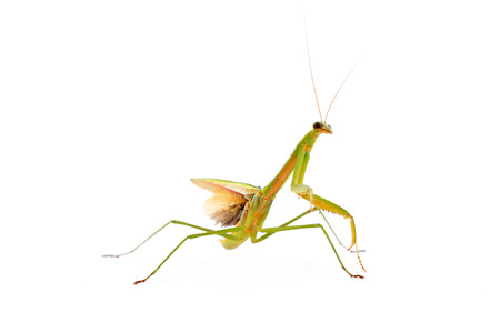 beneficial insect: Mantis in white background, closeup photo Stock Photo