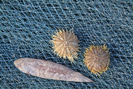aquatic products: Sea urchins and sole fish on the nets, closeup photo