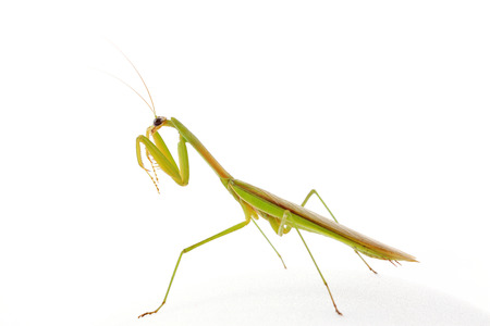 beneficial insect: Mantis in white background, closeup of photo