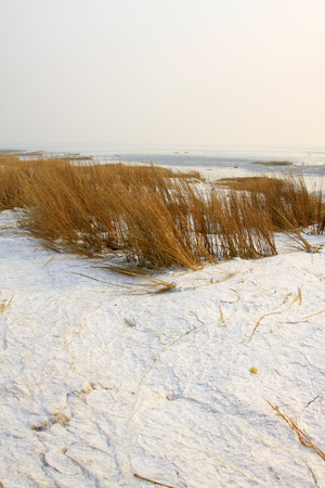 threw: reeds in the wind and snow in the sea, closeup of photo