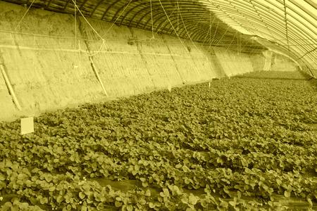 strawberry planting greenhouses internal landscape, closeup of photo photo