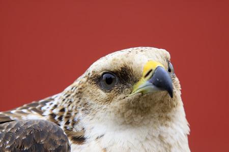 head shots: eagle head shots, closeup of photo Stock Photo