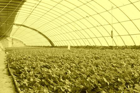 strawberry planting greenhouses internal landscape, closeup of photo