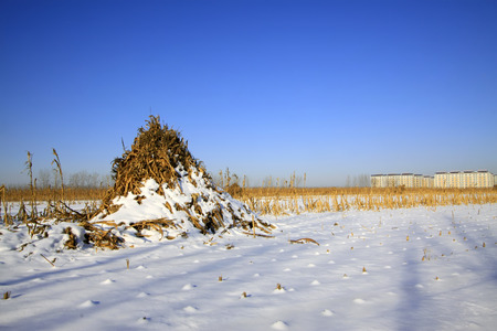 maize cultivation: Maize straw piled up in the snow, closeup of photo Stock Photo