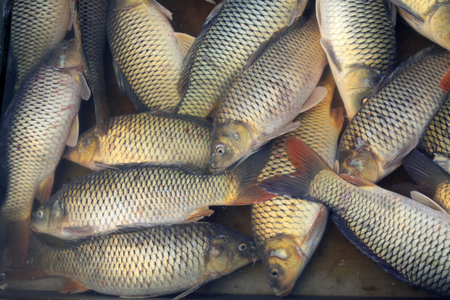 cyprinoid: carp in a market, closeup of photo