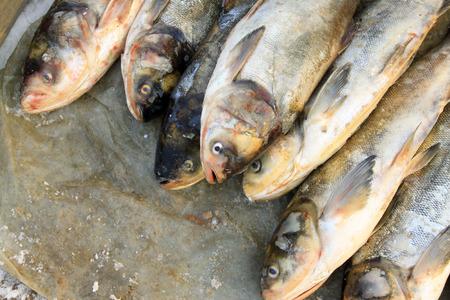 origen animal: carpa plateada en un mercado, primer plano de la foto