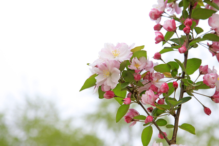 garden features: Chinese flowering crabapple flowers, closeup of photo