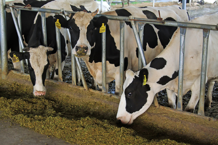fish husbandry: Cows eating feed in the farm, closeup of photo