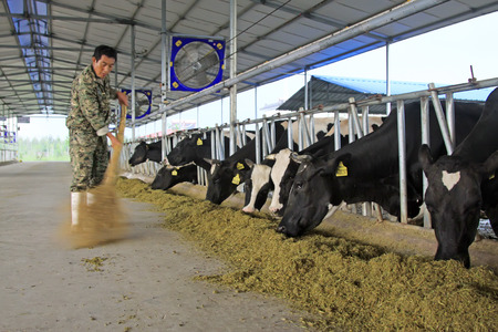breeder: LUANNAN COUNTY - AUGUST 28: breeder cleaning cows feed in a farm, August 28, 2015, Luannan County, Hebei Province, China.