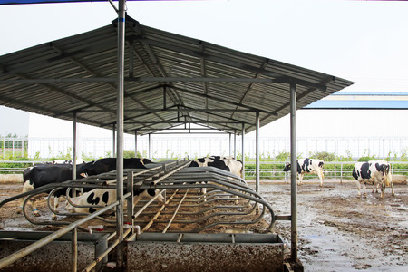 fish husbandry: cows in the farm, closeup of photo