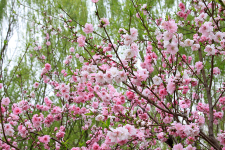 physiological: Peach flower blooming in the garden.