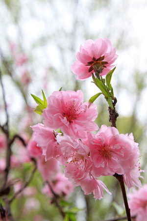 physiological: Peach flower blooming in the garden, closeup of photo