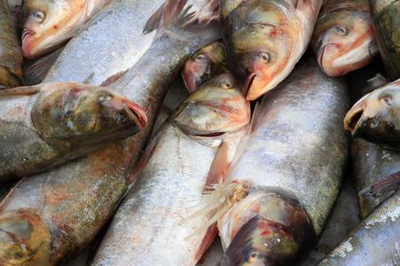 chub: silver carp in a market, closeup of photo