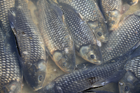 crucial: crucial carp in a market, closeup of photo Stock Photo