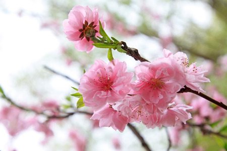 flor de durazno: Peach flower blooming in the garden, closeup of photo
