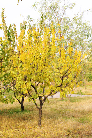 garden features: Yellow trees in a park, closeup of photo