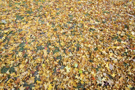 garden features: Yellow maple leaves on the ground, closeup of photo