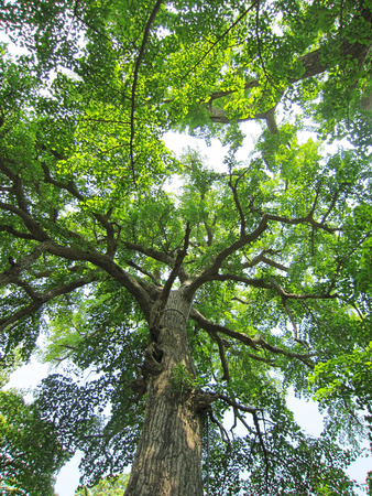 travel features: Qingdao - May 22: ancient trees in a temple, May 22, 2015, Qingdao city, shandong province, China
