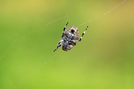 arachnids: aranea in a natural environment, closeup of photo Stock Photo
