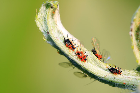 red tube: Red tube aphid and cinnabar leaf mites, closeup of photo Stock Photo