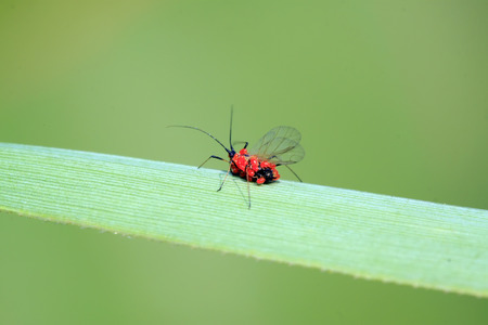 aphid: Red tube aphid and cinnabar leaf mites, closeup of photo Stock Photo