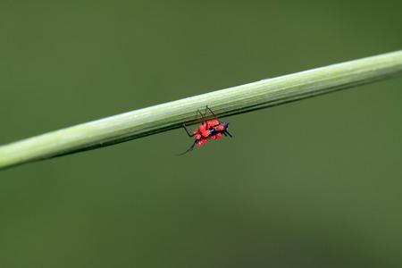 red tube: áfidos tubo rojo y de la hoja de cinabrio ácaros, primer plano de la foto