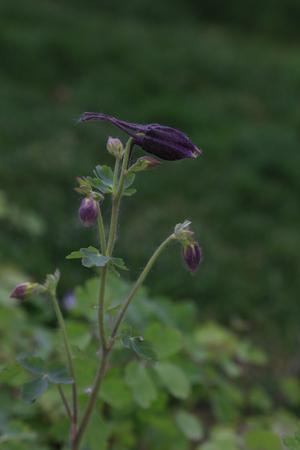 garden columbine flowers, closeup of photo