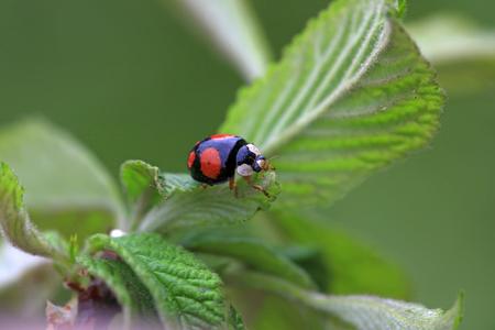 animal vein: Lady beetles on plant leaves, closeup of photo