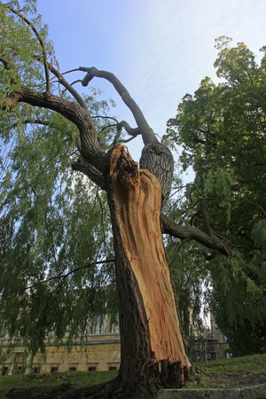 Old willow in a park Stock Photo