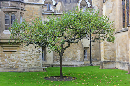 gravitation: Cambridge - October 3: apple tree at trinity college, It is said that Newtons law of universal gravitation, According to the apple tree, on October 3, 2015, Cambridge, UK.